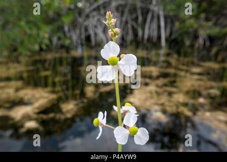 Duck potato Sagittaria latifolia flower ,Everglades National Park, Miami, Florida, USA - Stock Image