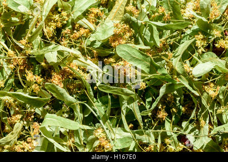 Lime tree flowers and leaves in closeup. The blossom has been dried for tea and herbal ingredients. - Stock Image