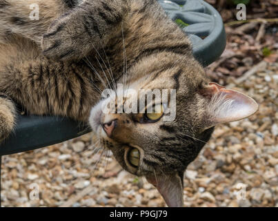 Tabby cat (Bengal cat) lying with head hanging off a green metal garden table - Stock Image