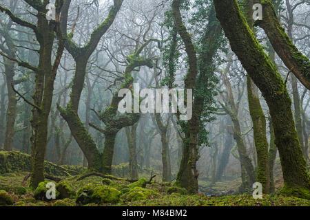 Mossy deciduous woodland in morning fog, Okehampton, Dartmoor, Devon, England. Winter (February) 2018. - Stock Image