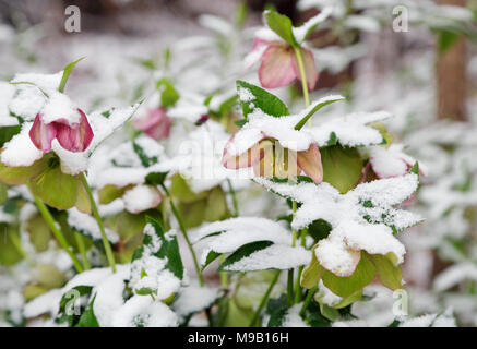 Helleborus - Lanten rose covered in snow - Stock Image