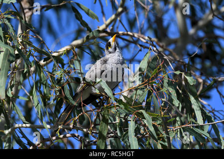 An Australian, Queensland Noisy Miner ( Manorina melanocephala ) perched in thick bush looking for food - Stock Image