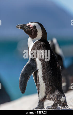 African penguin, Spheniscus demersus, standing on a rock peaking to the camera, at Simonstown, South Africa - Stock Image