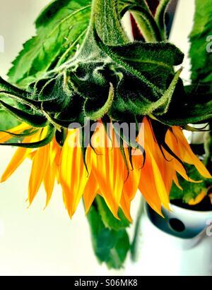 Sunflower in vase - Stock Image