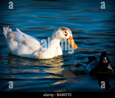 Two ducks on a pond - Stock Image
