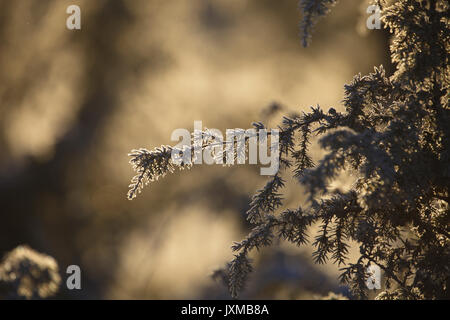 Hoarfrost covered juniper. - Stock Image