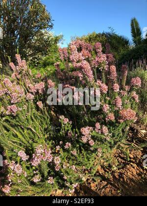 Heather growing in a Mediterranean garden - Stock Image