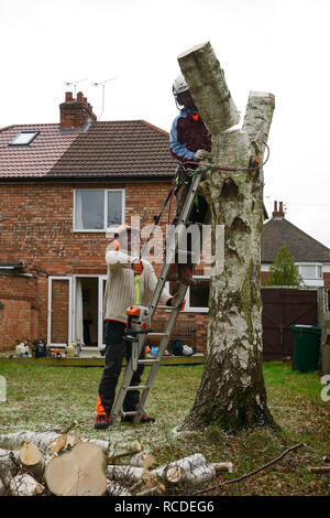 Tree surgeons fell a silver birch tree in a garden - Stock Image
