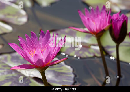botany, water lily (Nymphaea), Additional-Rights-Clearance-Info-Not-Available - Stock Image