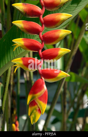 Laos, the North, LUANG PHABANG, Heliconia flower - Stock Image