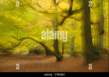 Soft focus view of beech trees and autumn leaves at Ashridge Forest In Hertfordshire, England. October. - Stock Image