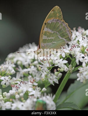 Wartbiter Decticus verructivorus Female on scrub elder wings closed Hungary June 2015 - Stock Image