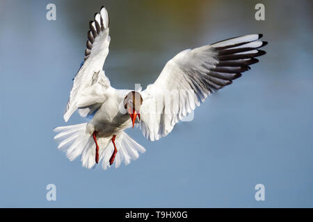 Slightly angry Black-headed Gull in flight - Stock Image