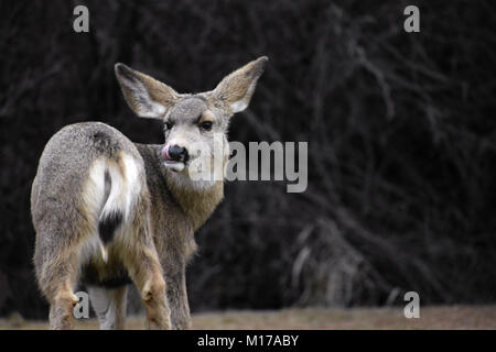 Mule Deer Doe caught with its tongue out - Stock Image