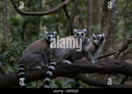 Three Madagascar ring-tailed lemur (Lemur catta) from the Monkeyland Sanctuary in Plettenberg Bay, South Africa. - Stock Image