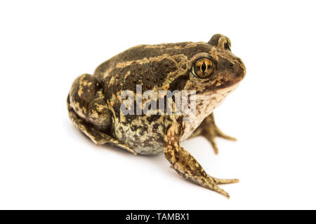 Ground toad isolated on a white background - Stock Image