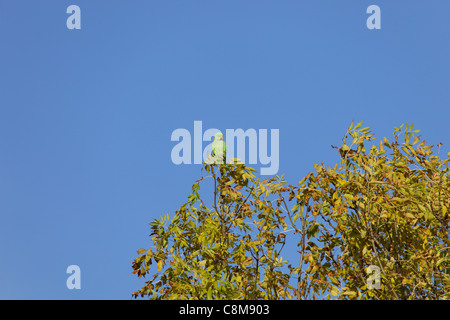 Feral ring-necked parakeet in tree - Stock Image