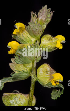 Yellow rattle, Rhinanthus minor, flowers of annual herbaceous hemi-parasite plant of grasses and legumes, Berkshire, May - Stock Image