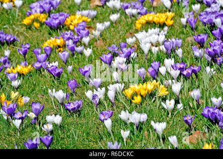 Crocus, Spring Flower In Germany - Stock Image