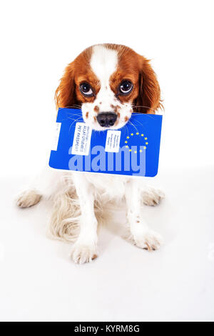 Dog with pet passport immigrating or ready for a vacation. King Charles spaniel carry animal id passport. Dog passport - Stock Image