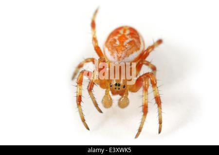 Juvenile male Araniella displicata spider, part of the family Araneidae - Orbweavers. Isolated on white background. - Stock Image
