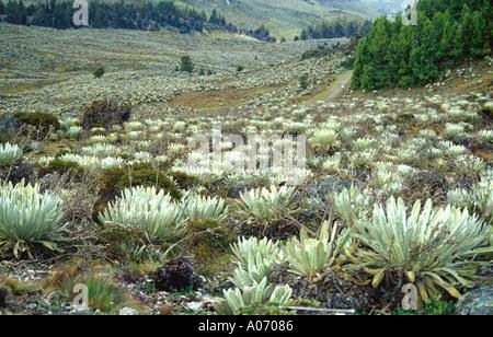 Frailejon Plants in Sierra Nevada Landscape, Venezuela - Stock Image