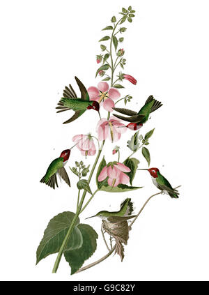 Anna s Hummingbird, Calypte anna, birds, 1827 - 1838 - Stock Image