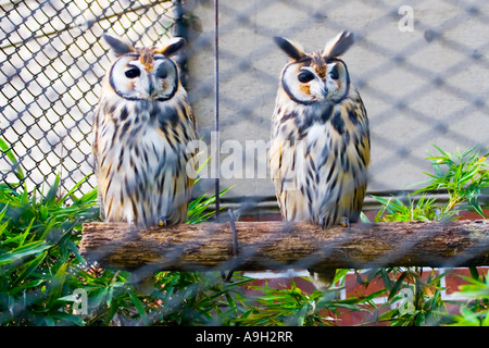 A pair of owls behind a wire enclosure - Stock Image