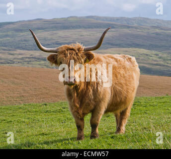 Highland cattle in Scotland - Stock Image