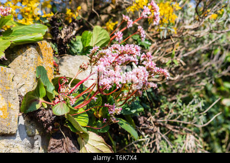 Bergenia Cordifolia also known as heartleaf or elephant ear grows pink flowers from the top of a wall - Stock Image