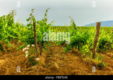 Grapes with roses in Bulgarian village. - Stock Image