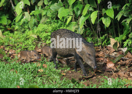 Collared Peccary mother (Tayassu tajacu) with babies in rainforest. La Selva Biological Station, Costa Rica. - Stock Image