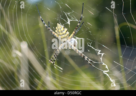 Lobed argiope spider (Argiope lobata: Araneidae) with wrapped prey in its web, Namibia. - Stock Image