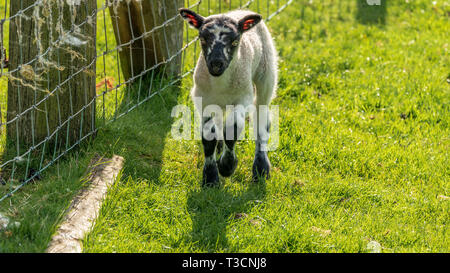 Curious lamb on a meadow looking into the camera - Stock Image