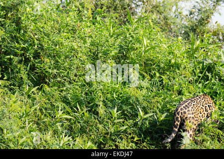 Elusive wild Jaguar, Panthera onca, disappearing into the underbrush by a river in the Pantanal, Brazil, South America - Stock Image