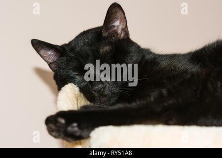 Closeup of an european sleeping black cat. - Stock Image