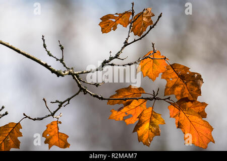 Red Sycamore leaves on a branch in late autumn against a grey diffuse background - Stock Image