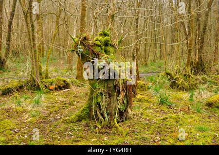 A moss and fern covered Stoggle in winter in woodland at Nettlebridge,Somerset. UK. A method of coppicing to allow sheep to graze under a canopy of tr - Stock Image