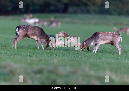 Fallow Deer (Dama dama), Two Bucks Fighting during the Rut, Royal Deer Park, Klampenborg, Copenhagen, Sjaelland, - Stock Image