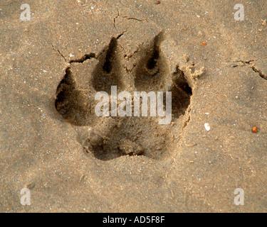 Great Dane footprint - Stock Image