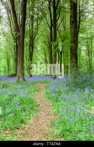 Beautiful Bluebell Woods in Wiltshire, England - Stock Image