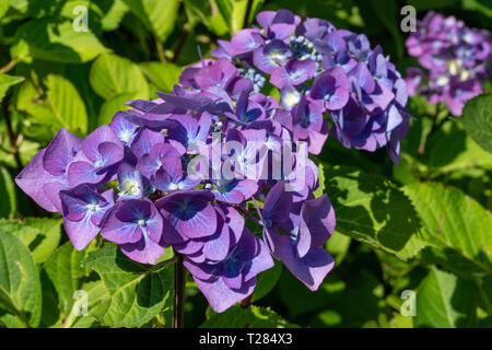 Penny mac (Hydrangea macrophylla), flowers of summer - Stock Image