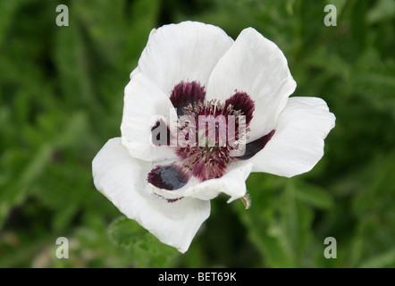 Oriental Poppy, Papaver orientale 'Black & White', Papaveraceae - Stock Image