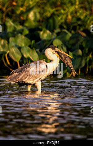 Cocoi Heron or White-necked Heron, Ardea cocoi, wading in a river in the Pantanal holding fish in its beak, Mato - Stock Image