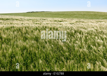 Field with young wheat in the wind on the cliffs of Cap Gris Nez, France - Stock Image
