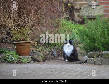 Cat in garden of Rose Cottage, Park Road, Hook Norton, Oxfordshire - Stock Image