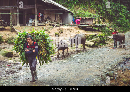 A local man leads his water buffalo past a house in the mountains near Sapa - Stock Image