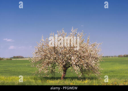 Apple tree in the spring on the sky background - Stock Image