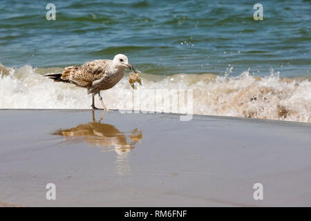 A seagull with something that is held in its beak. This wild bird stands on the wet sand at the Baltic Sea shore in Kolobrzeg in Poland. - Stock Image