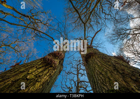 View up the trunks of two large trees. - Stock Image